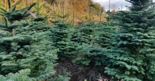 wholesale christmas trees u0026 supplier cork christmas trees