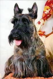 red brindle scottie terriers pinterest scottish terrier