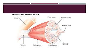 muscular system introduction over 600 muscles make up muscular