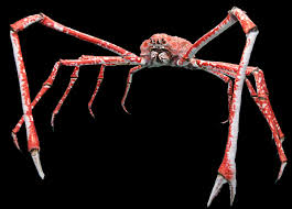 japanese spider crab wikipedia