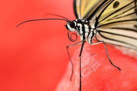 do butterflies taste with their scienceabc