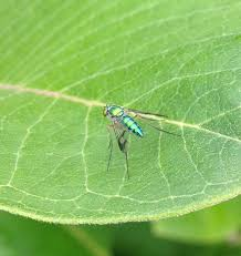 Flies In Backyard Long Legged Fly Backyard And Beyond