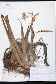 native plants of alabama iris virginica species page isb atlas of florida plants
