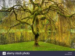 golden weeping willow tree in garden at bloedel reserve bainbridge