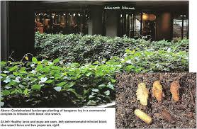 in outdoor planters in commercial centers u2026 insect parasitic