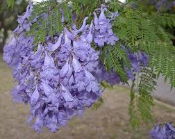 tree with purple flowers can you identify these trees based on their flowers mnn