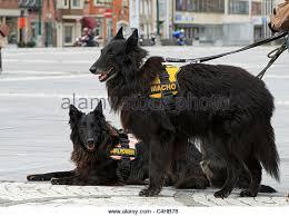 belgian sheepdog coat belgian sheepdog stock photos u0026 belgian sheepdog stock images alamy