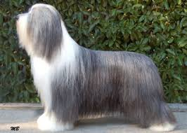 bearded collie x terrier stylwise bearded collies