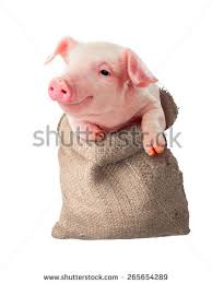 baby pig stock images royalty free images u0026 vectors shutterstock