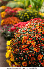 mums flowers stock images royalty free images u0026 vectors