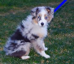5 month old mini australian shepherd sunny hill mini aussies bachman u0027s rustic lace kate
