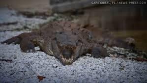 Alligators In Georgia Map Gator Takes Up Residence In Atlanta Area River
