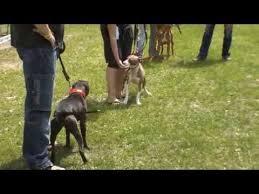 american pitbull terrier kennels in michigan american pit bull terrier show 2012 youtube
