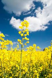 Blue Barns Hardingstone Grafton Underwood Northamptonshire England Oil Seed Crop