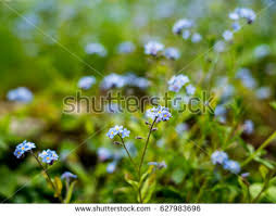 small blue flowers on woods stock photo 627983696