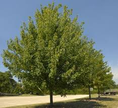 five shade trees that are easy to plant in the alabama sun