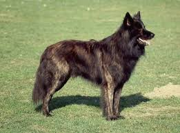 belgian shepherd exercise requirements dutch shepherd dog breed information american kennel club
