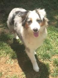 1 year old australian shepherd testimonials bark u