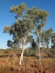 eucalyptus alba wikipedia