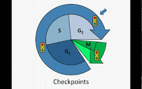 cell cycle checkpoints youtube