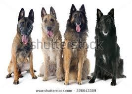 belgian shepherd breeders south africa belgian shepherd dog malinois stock images royalty free images