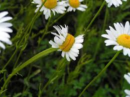 a mutant daisy mildlyinteresting