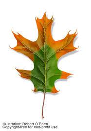 oak wilt identification