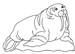 coloring page for walrus walrus coloring page animals town animal color sheets walrus picture
