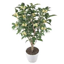 osmanthus fragrans seeds charming and fragrant sweet olive tree