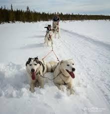 husky sled adventure tour u2014 aurora retreat