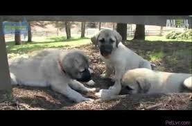 belgian sheepdog dogs 101 breeds u2013 petlvr archives