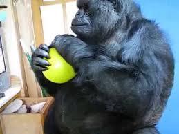 gorilla balloon koko plays with a yellow balloon