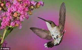 Hummingbird On A Flower - hummingbird u0027s huge memory lets them remember the location of every