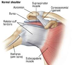 Anatomy Of Shoulder Muscles And Tendons Rotator Cuff Injury Harvard Health