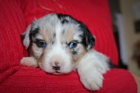 australian shepherd 4 weeks old ashley 4 weeks old 3 stonger miniature and standard aussies