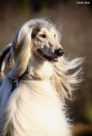 does an afghan hound shed 263 best ã f g h ã ñ h õ ṵ ñ d s images on