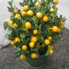 30pcs fruit mandarin citrus orange bonsai tree seeds popular
