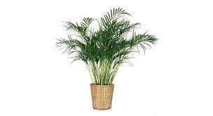 plante d駱olluante chambre plantes interieur depolluante 9 plantes dintacrieur qui nettoient