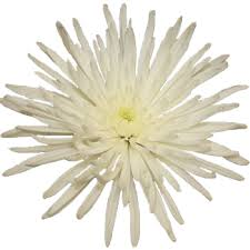 Picture Of Mums The Flowers - mums u0026 spider mums wholesale bulk flowers fiftyflowers