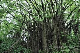 hawaii trees ottsworld unique travel experiences