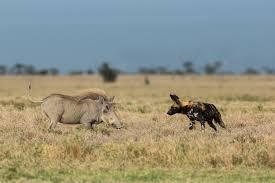 safari ltd african wild dog kenya photography tours masai mara wildlife photography holidays