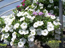 Garden Plants Names And Pictures by The Gardener U0027s Companion How To Grow Wave Petunias Dengarden