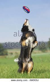 australian shepherd frisbee dog with frisbee stock photos u0026 dog with frisbee stock images alamy