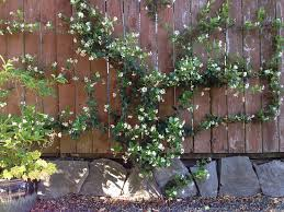 Downspout Trellis The Vines In My Life Vines For Northwest Gardens