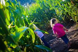 Denver Botanic Gardens Corn Maze Denver Botanic Gardens Corn Maze At Chatfield But I Want A Pony