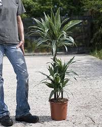dracaena dracaena deremensis warneckii dragon tree warneckii house of plants