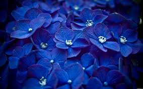 nature flowers macro watermark blue flowers hydrangeas wallpaper