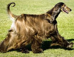 afghan hound mandarin animal life expectancy