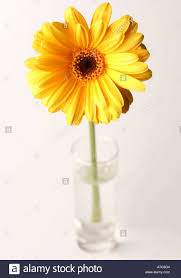 Small Glass Vase Yellow Flower Gerbera Gerbera Jamesonii In Small Glass Vase With