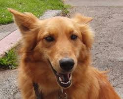 belgian sheepdog golden retriever mix golden chow puppies color dog breeds puppies nice golden chow